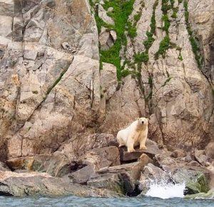 Polar Bear Along the Russian Coast